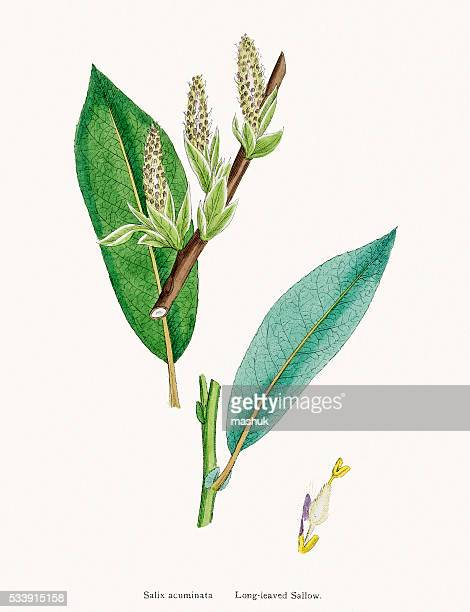 willow medicinal tree remedy for aches and fever - plant attribute stock illustrations, clip art, cartoons, & icons