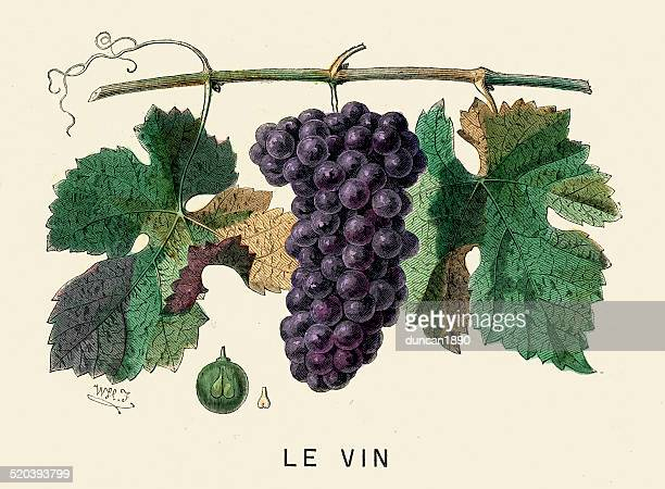wine grapes - french culture stock illustrations