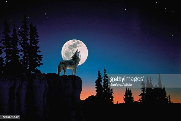 wolf howling at the moon - howling stock illustrations, clip art, cartoons, & icons