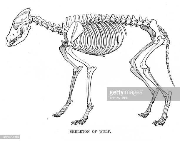 ilustraciones, imágenes clip art, dibujos animados e iconos de stock de esqueleto de lobo grabado 1894 - animal vertebrado