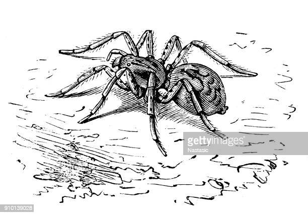 wolf spider (alopecosa inquilina) - spider stock illustrations