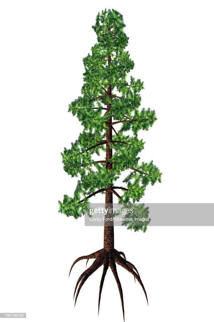 Wollemia coniferous tree, white background. : stock illustration