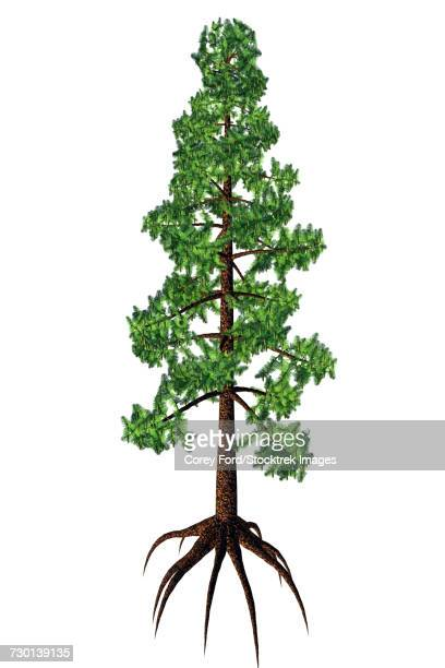 Wollemia coniferous tree, white background.