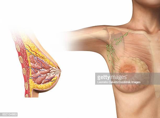 ilustraciones, imágenes clip art, dibujos animados e iconos de stock de woman breast cutaway, cross section diagram with woman figure showing lymphatic glands. - aumento de senos