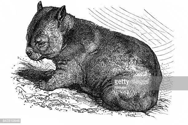 wombat (phascolomys fossor) - wombat stock illustrations