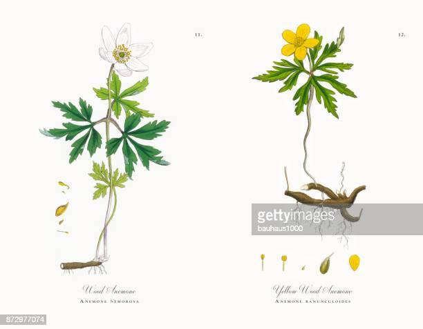wood anemone, anemone, anemone nemorosa, victorian botanical illustration, 1863 - anemone apennina stock illustrations, clip art, cartoons, & icons