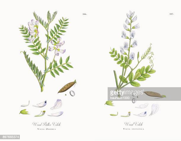 wood bitter vetch, vicia orobus, victorian botanical illustration, 1863 - wildflower stock illustrations, clip art, cartoons, & icons