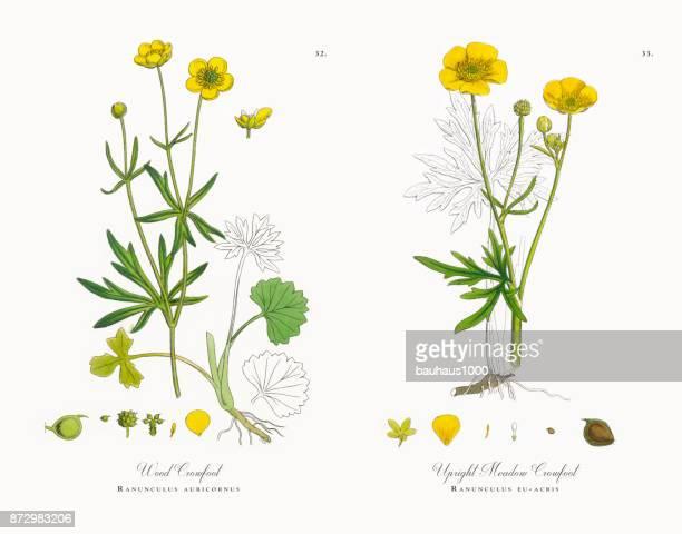 Bois Crowfoot, Ranunculus auricornus, Victorian Illustration botanique, 1863