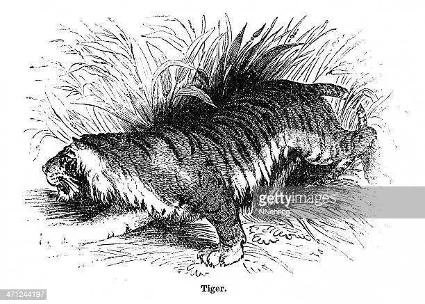 Wood Engraving Of Tiger By Rev. J. G. Wood