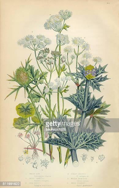 wood sanicle, carrot, parsnip, holly, hemlock, celery, victorian botanical illustration - parsnip stock illustrations, clip art, cartoons, & icons