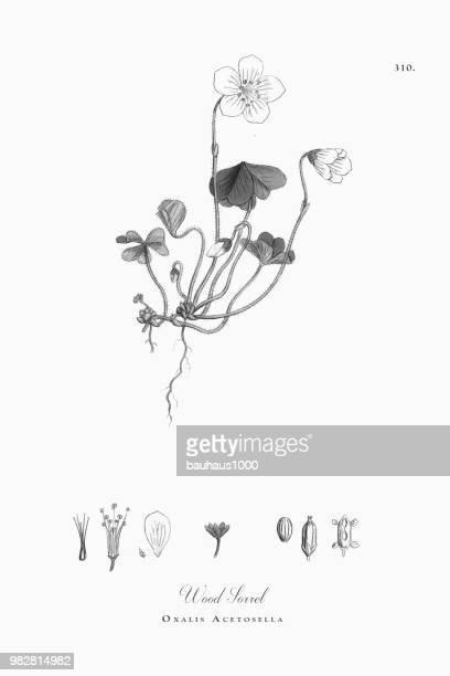 wood sorrel, oxalis acetosella, victorian botanical illustration, 1863 - plant bulb stock illustrations, clip art, cartoons, & icons
