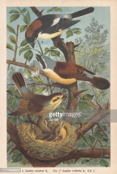 woodchat shrike und rotrücken-shrike, chromolithograph, veröffentlicht 1896 - hecke stock-grafiken, -clipart, -cartoons und -symbole