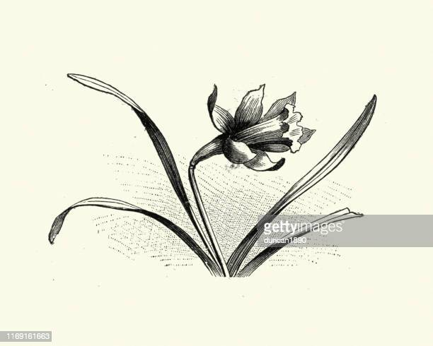 woodcut engraving of a daffodil - daffodil stock illustrations