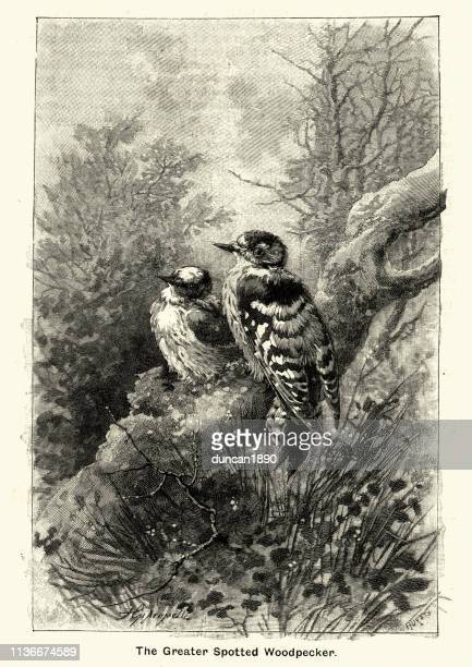 Woodcut engraving of Greater Spotted Woodpecker, Victorian 19th Century
