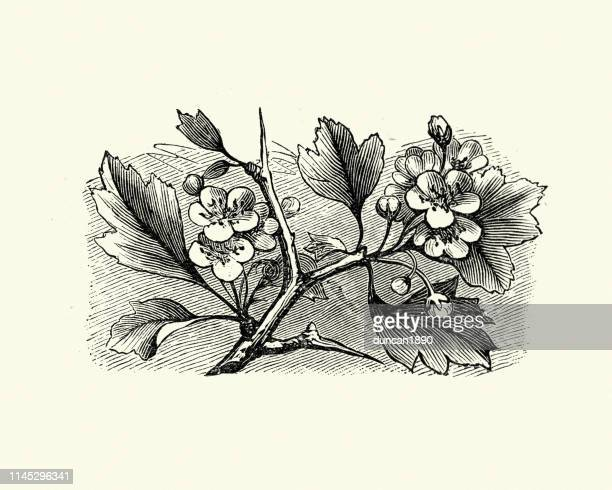 woodcut engraving of hawthorn blossom, 19th century - may flowers stock illustrations