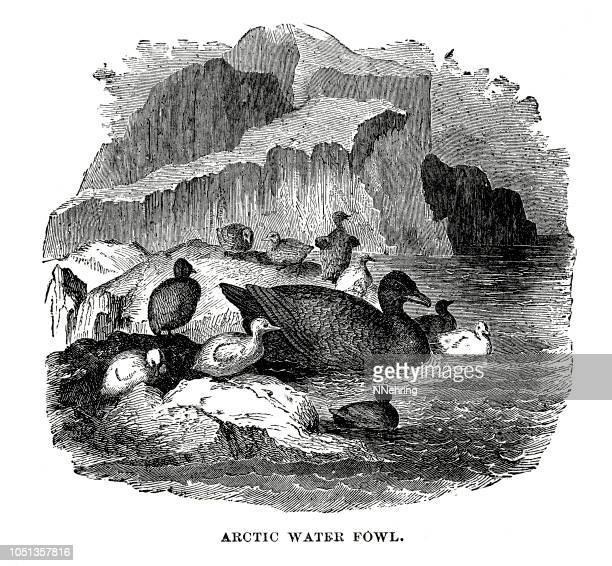 woodcut of Arctic fowl