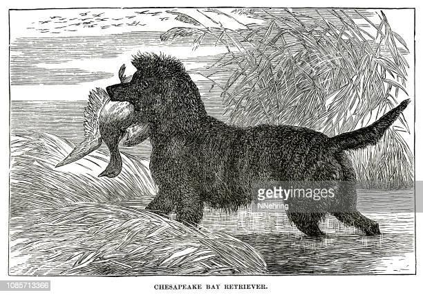 woodcut of Chesapeake Bay retriever dog hunting