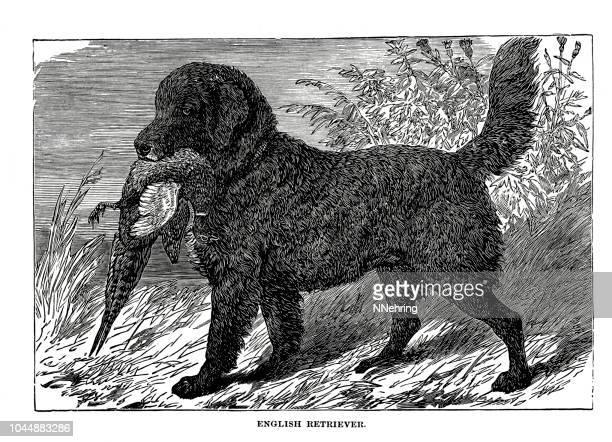 woodcut of English retriever dog