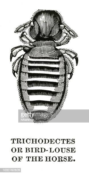 woodcut of horse biting louse, Bovicola equi or Damalinia equi