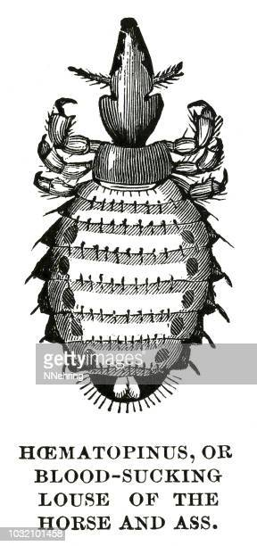 Woodcut of horse louse, Haematopinus asini.