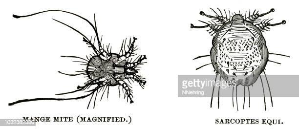 woodcut of parasitic mites