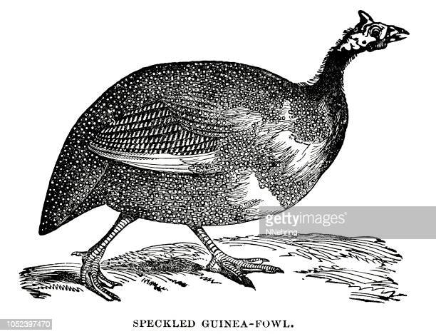 woodcut of speckled guineafowl