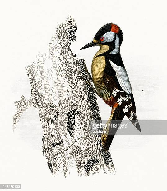 Ilustraciones De Stock Y Dibujos De Pájaro Carpintero