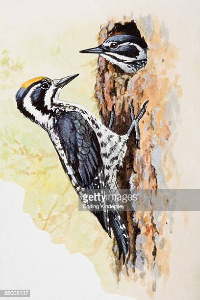 woodpecker (picidae), male and female, one looking out of hole, the other perching outside on tree's bark - other stock illustrations, clip art, cartoons, & icons