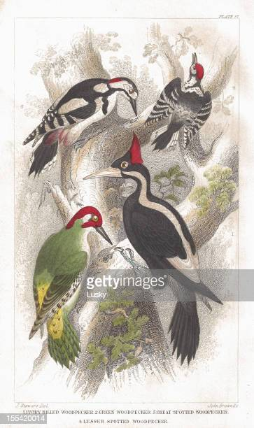 woodpecker old litho print from 1852 - talon stock illustrations