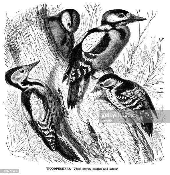 Ilustraciones De Stock Y Dibujos De Pájaro Carpintero Pico Picapinos