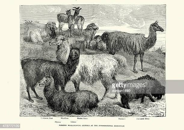 Animales portadores de lana