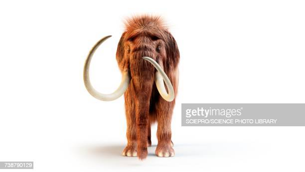 woolly mammoth, illustration - front view stock illustrations
