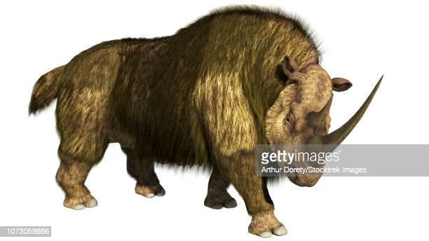 Woolly rhino on a white background stepping forward.