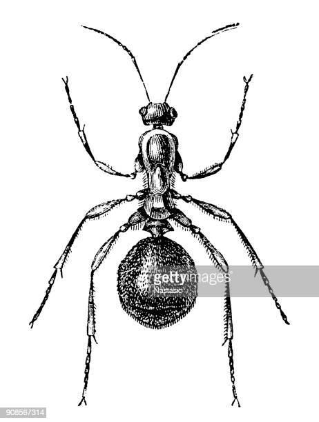 bildbanksillustrationer, clip art samt tecknat material och ikoner med trappkärra trä (formica rufa) - myra