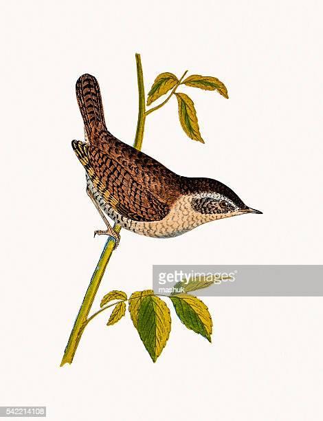 ilustrações, clipart, desenhos animados e ícones de carriça-de-pássaro - zoologia