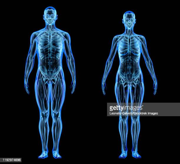 x-ray effect of male and female muscle and skeletal systems on black background. - animal body part stock illustrations