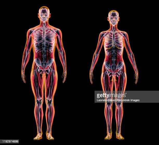 x-ray effect of male and female muscle and skeletal systems on black background. - x ray image点のイラスト素材/クリップアート素材/マンガ素材/アイコン素材