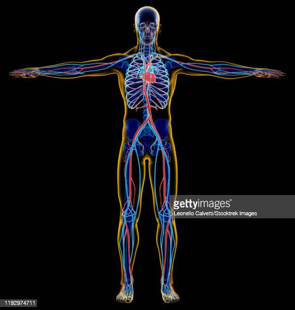 x-ray effect of male skeletal and cardiovascular system. - x ray image点のイラスト素材/クリップアート素材/マンガ素材/アイコン素材