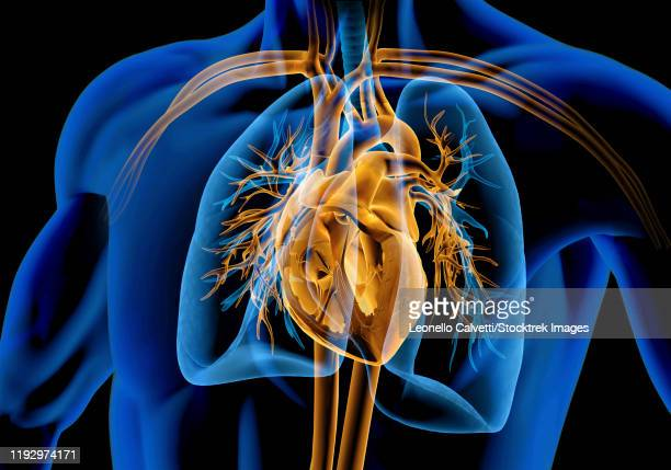 x-ray effect of uman heart with vessels, lungs and bronchial tree. - heart ventricle stock illustrations