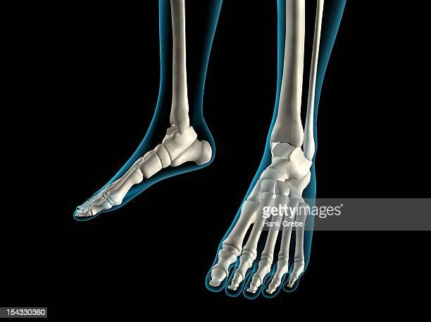 x-ray view of foot bones - カイロプラクター点のイラスト素材/クリップアート素材/マンガ素材/アイコン素材