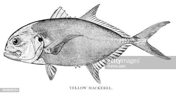yellow mackerel engraving 1898 - trachurus stock illustrations