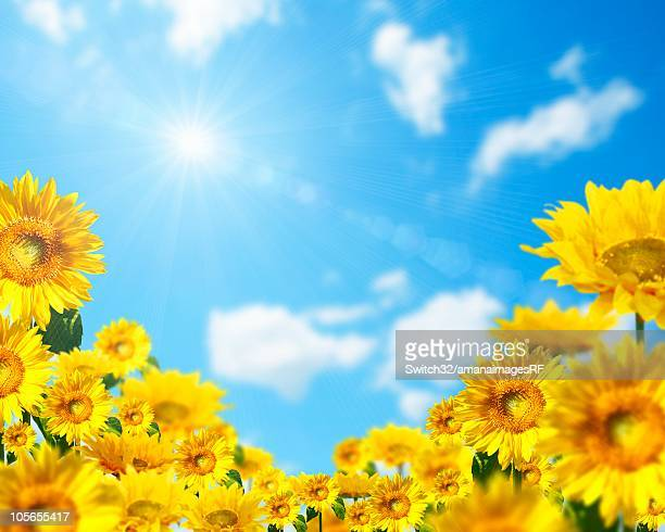 Yellow Sunflowers and the Sun Shining in a Blue Sky