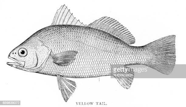 yellow tail fish engraving 1898 - acanthuridae stock illustrations, clip art, cartoons, & icons