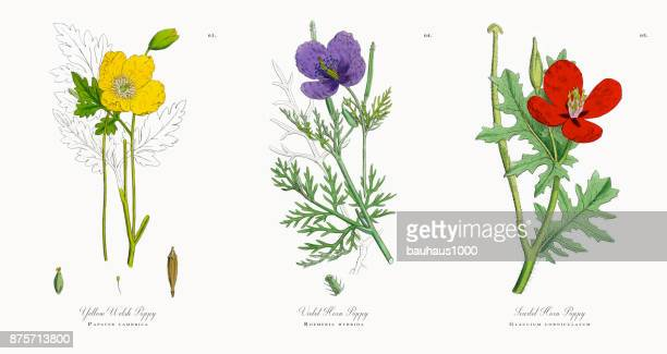 yellow welsh poppy, papaver cambrica, victorian botanical illustration, 1863 - heroin stock illustrations, clip art, cartoons, & icons