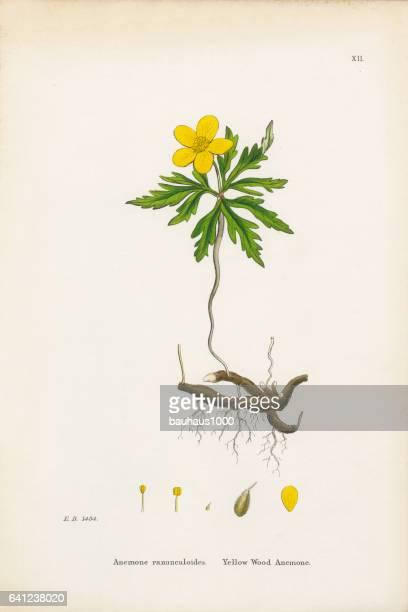 yellow wood anemone, anemone, anemone ranunculoides, victorian botanical illustration, 1863 - anemone apennina stock illustrations, clip art, cartoons, & icons
