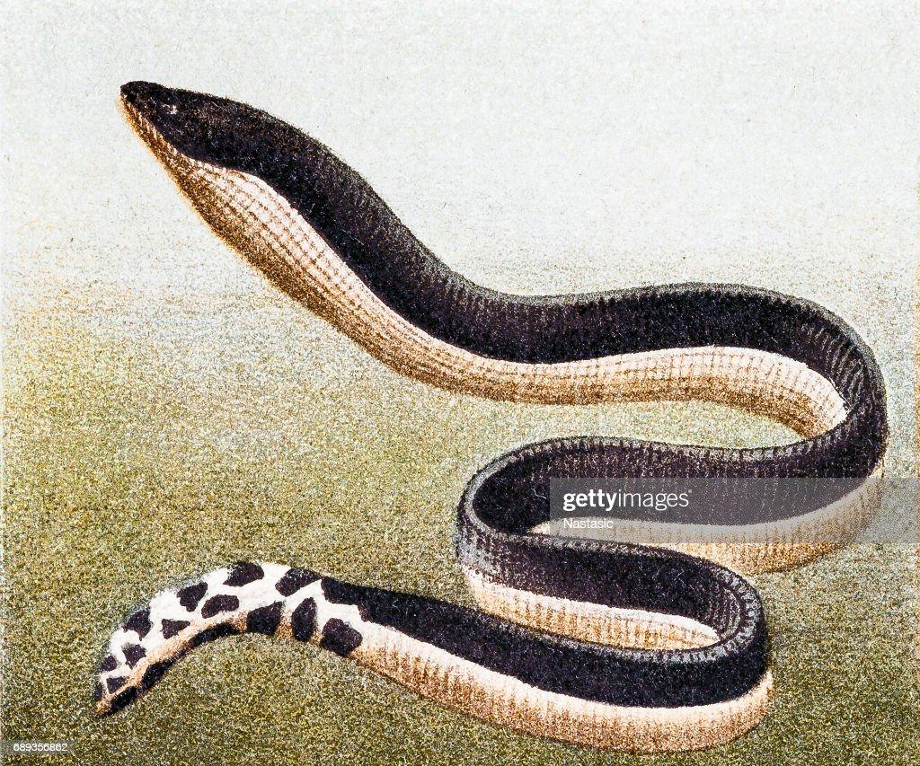 Yellow-bellied sea snake( Hydrophis platurus) : Stock Illustration