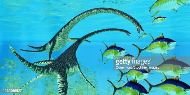 ilustraciones, imágenes clip art, dibujos animados e iconos de stock de yellowfin tuna try to escape the jaws of two elasmosaurus reptiles. - plesiosaurio