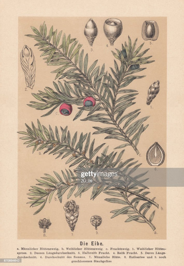 Yew (Taxus baccata): flowers, seeds, fruits, hand-colored lithograph, published 1888 : stock illustration