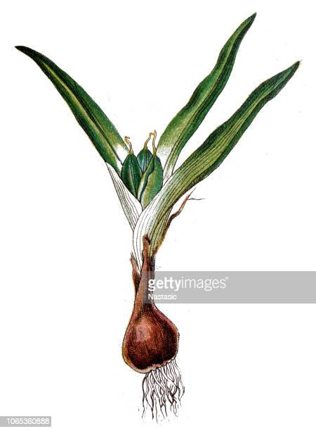 young narcissus with bulb and roots - plant bulb stock illustrations