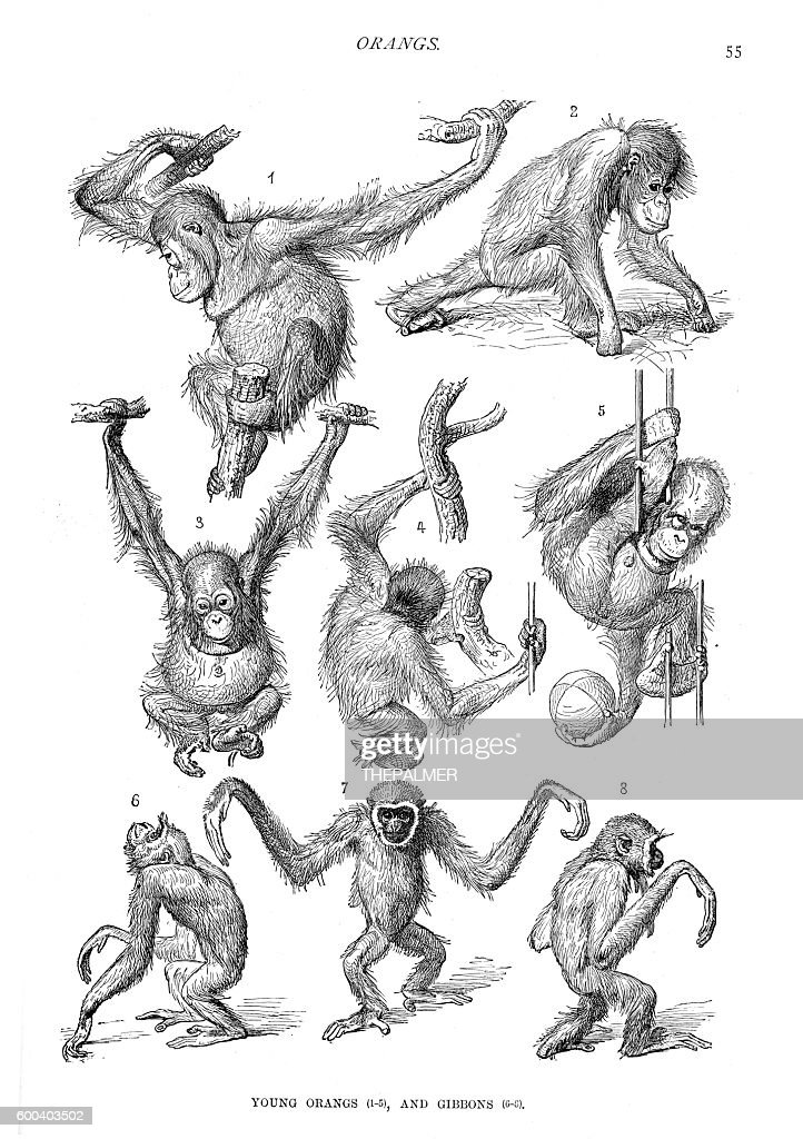 Young orangutans and gibbons engraving 1894 : stock illustration